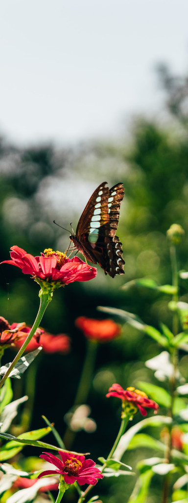 In a summer country meadow a butterfly lands on a flower